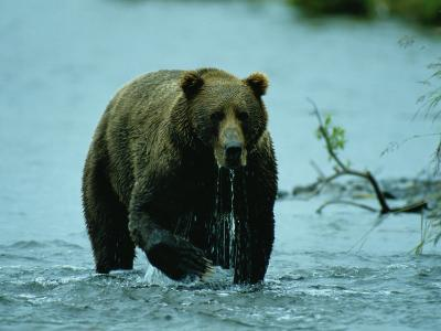A Kodiak Brown Bear Emerges from the Water-George F^ Mobley-Photographic Print