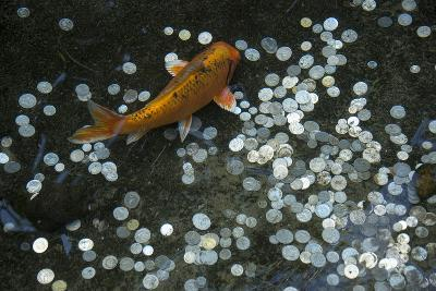 A Koi Fish Swims Above a Pile of Coins in a Pond-Joel Sartore-Photographic Print