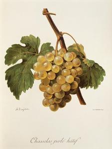 Chasselas Perle' Hatif Grape by A. Kreyder