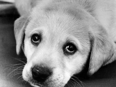 A Labrador puppy, 1978-Freddie Reed O.B.E.-Photographic Print