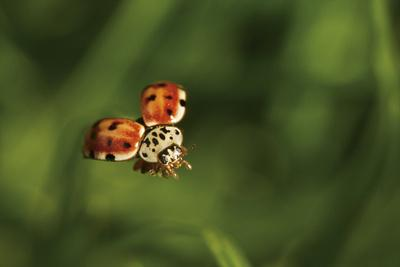 https://imgc.artprintimages.com/img/print/a-ladybug-coccinella-septempunctata-in-flight_u-l-pyybr50.jpg?p=0
