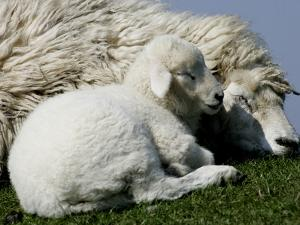 A Lamb Looks for Shelter Aside its Mother Sheep
