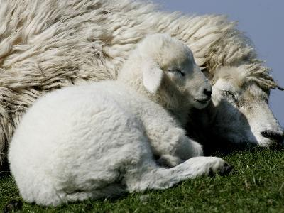 A Lamb Looks for Shelter Aside its Mother Sheep--Photographic Print