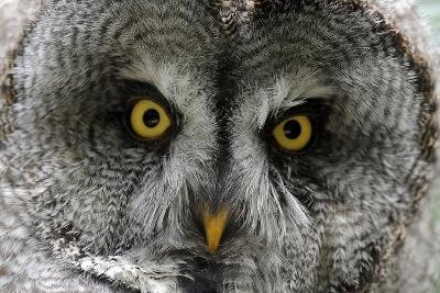 A Lapland-Great Gray Owl at the Zoo in Dortmunde--Photo