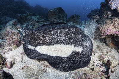 A Large Black-Blotched Stingray Near Cocos Island, Costa Rica-Stocktrek Images-Photographic Print