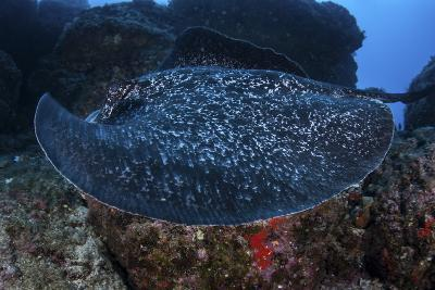 A Large Black-Blotched Stingray Swims over the Rocky Seafloor-Stocktrek Images-Photographic Print
