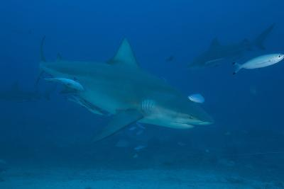 A Large Bull Shark at the Bistro Dive Site in Fiji-Stocktrek Images-Photographic Print
