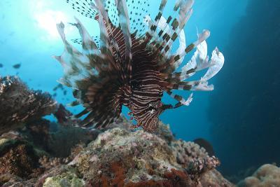 A Large Common Lionfish Swimming at Beqa Lagoon, Fiji-Stocktrek Images-Photographic Print