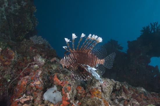 A Large Common Lionfish Swimming at Beqa Lagoon, Fiji-Stocktrek Images-Photographic Print