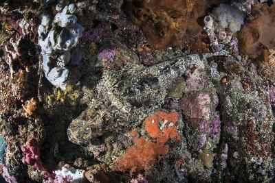 A Large Crocodilefish Lies on a Colorful Reef-Stocktrek Images-Photographic Print