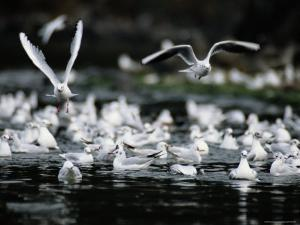 A Large Group of Black-Headed Gulls Fly Away from the Water
