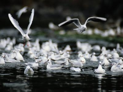 A Large Group of Black-Headed Gulls Fly Away from the Water--Photographic Print