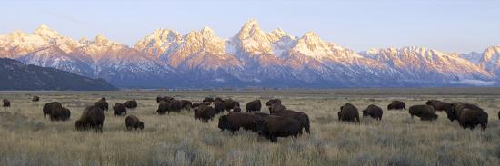 A Large Herd of Bison Moves across the Open Range of the Tetons-Barrett Hedges-Photographic Print
