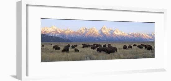 A Large Herd of Bison Moves across the Open Range of the Tetons-Barrett Hedges-Framed Photographic Print