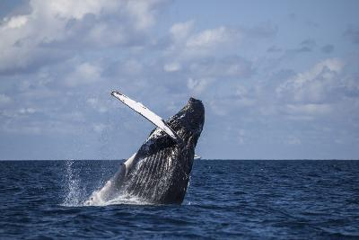 A Large Humpback Whale Breaches Out of the Atlantic Ocean-Stocktrek Images-Photographic Print