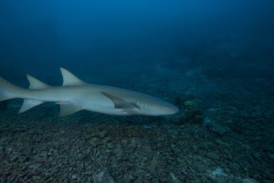 A Large Tawny Nurse Shark on a Deep Fijian Reef-Stocktrek Images-Photographic Print