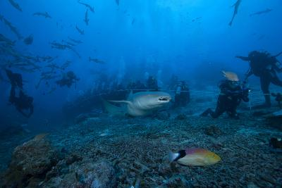 A Large Tawny Nurse Shark Swims Past Divers at the Bistro Dive Site in Fiji-Stocktrek Images-Photographic Print