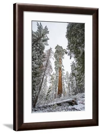 A Large Tree Is Lit Up In The Forest In Sequoia National Park, California-Michael Hanson-Framed Photographic Print