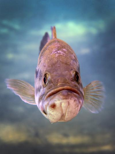 A Largemouth Bass Faces Off with the Underwater Photographer-Stocktrek Images-Photographic Print