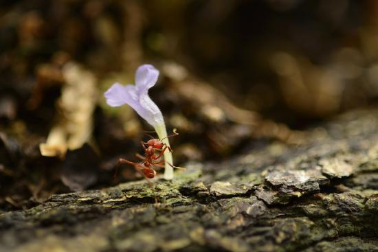 A Leafcutter Ant Carries a Pink Flower Back to its Colony on Barro Colorado Island-Jonathan Kingston-Photographic Print