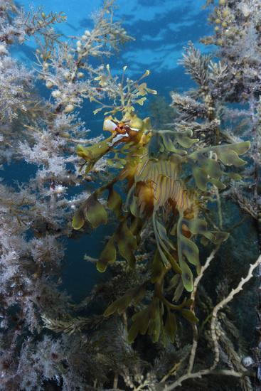 A Leafy Seadragon, Phycodurus Eques, Hiding Among Seaweeds-Jeff Wildermuth-Photographic Print