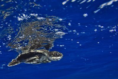 A Leatherback Sea Turtle Hatchling Swimming at the Water's Surface-Jim Abernethy-Photographic Print