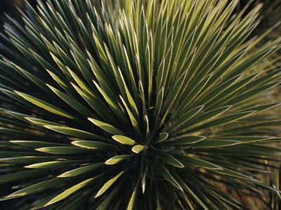 A Lechuguilla Plant in the Desert-Stephen Alvarez-Photographic Print