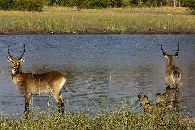 A Lechwe and a Waterbuck Standing in a Spillway as African Wild Dogs Watch Them from the Bank-Beverly Joubert-Photographic Print