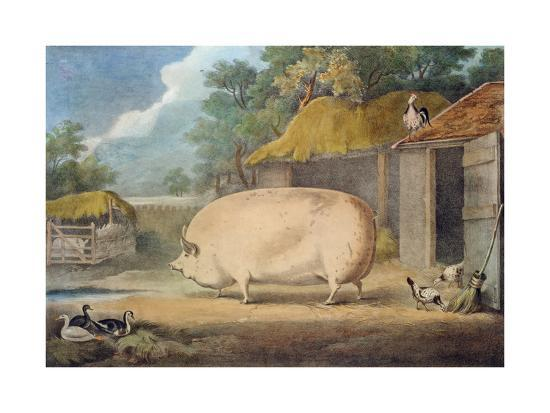 A Leicester Sow, 2 Years Old, the Property of Samuel Wiley-William Henry Davis-Giclee Print