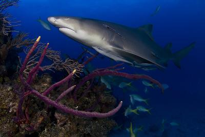 A Lemon Shark Swimming over a Reef-Jim Abernethy-Photographic Print