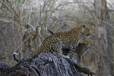 A Leopard and Her Cub Sitting on and Fallen Tree and Looking Around-Beverly Joubert-Photographic Print