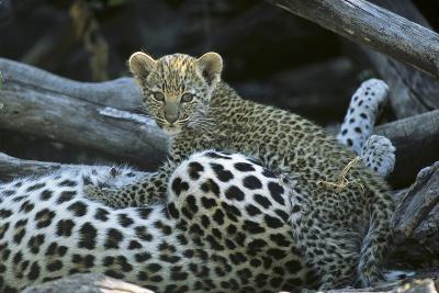 A Leopard  Cub, Panthera Pardus, Prepares to Nurse-Beverly Joubert-Photographic Print