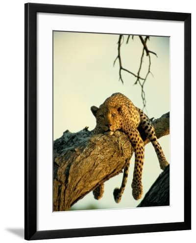 A Leopard Lounges in a Tree-Beverly Joubert-Framed Photographic Print