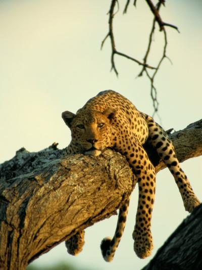 A Leopard Lounges in a Tree-Beverly Joubert-Photographic Print