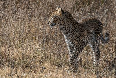 A Leopard, Panthera Pardus, in Serengeti National Park-Tom Murphy-Photographic Print