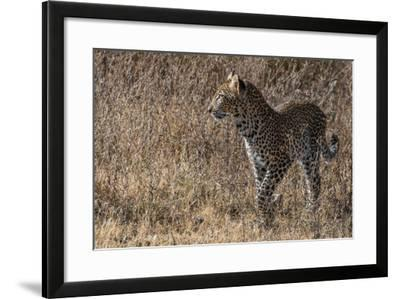 A Leopard, Panthera Pardus, in Serengeti National Park-Tom Murphy-Framed Photographic Print