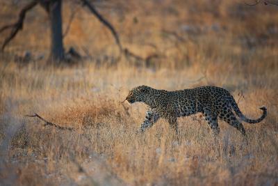 A Leopard, Panthera Pardus Pardus, Walks Through Grassland Aglow in the Setting Sun-Alex Saberi-Photographic Print