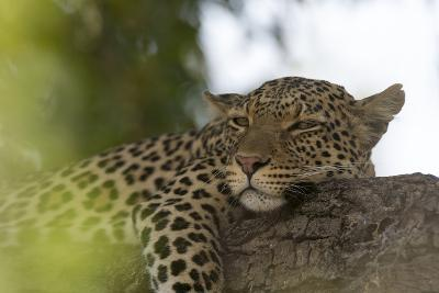 A Leopard, Panthera Pardus, Resting on a Tree Branch-Sergio Pitamitz-Photographic Print