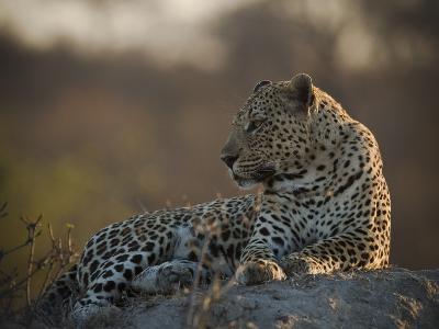 A Leopard, Panthera Pardus, Resting-Beverly Joubert-Photographic Print