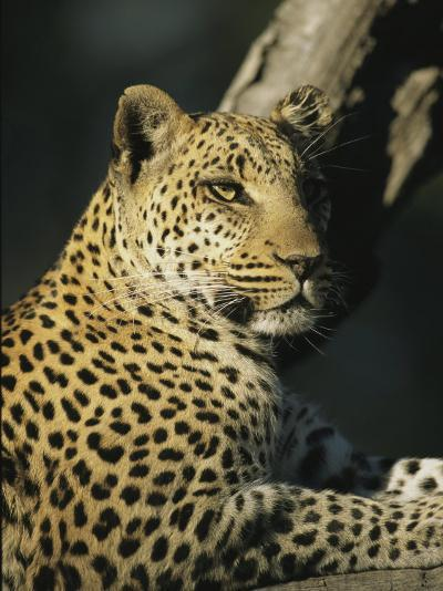 A Leopard, Panthera Pardus, Rests in a Tree-Beverly Joubert-Photographic Print