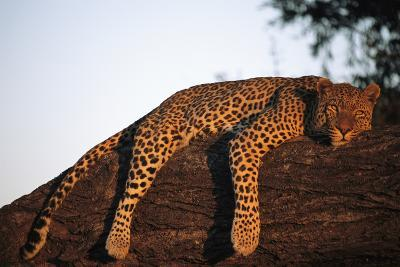 A Leopard, Panthera Pardus, Rests on a Large Tree Limb-Beverly Joubert-Photographic Print