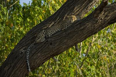 A Leopard, Panthera Pardus, Sleeping on a Tree Branch with the Sunlight on its Face-Beverly Joubert-Photographic Print