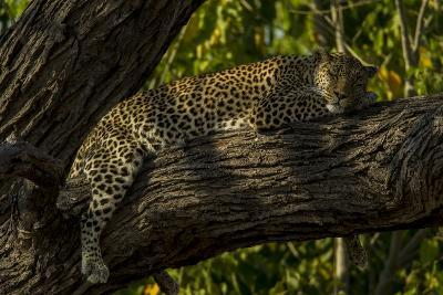 A Leopard, Panthera Pardus, Sleeping on a Tree Branch-Beverly Joubert-Photographic Print