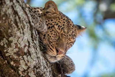 A Leopard, Panthera Pardus, Sleeping on the Branch of a Tree-Tom Murphy-Photographic Print