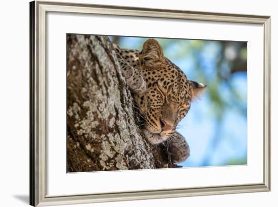 A Leopard, Panthera Pardus, Sleeping on the Branch of a Tree-Tom Murphy-Framed Photographic Print