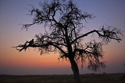 A Leopard Sitting in a Tree at Sunset-Beverly Joubert-Photographic Print