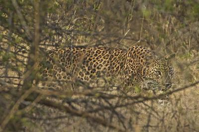 A Leopard Walking in Yala National Park-Steve Winter-Photographic Print