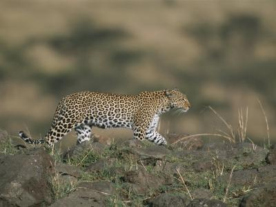 A Leopard Walks Along a Rocky Ledge in Masai Mara National Reserve-Roy Toft-Photographic Print