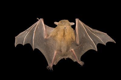 A Lesser Short-Nosed Fruit Bat, Cynopterus Brachyotis, at the Lubee Bat Conservancy-Joel Sartore-Photographic Print