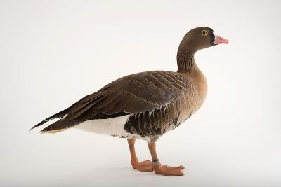 A Lesser White Fronted Goose, Anser Erythropus, at Sylvan Heights Bird Park-Joel Sartore-Photographic Print